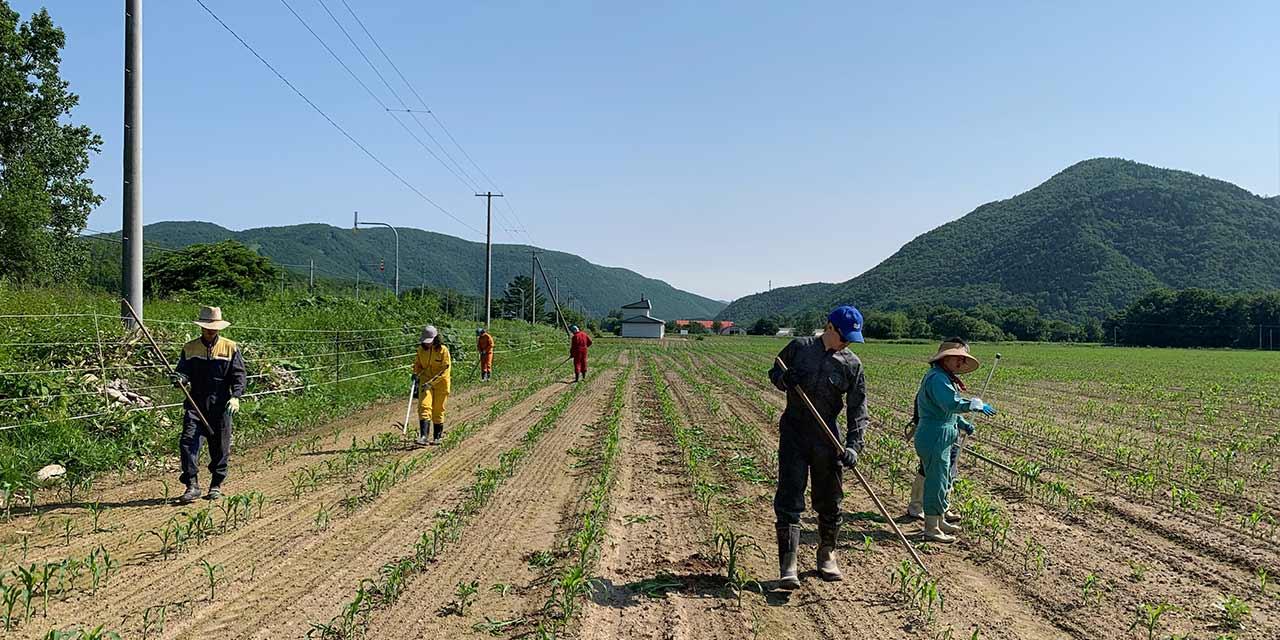 a sweet corn field in Hokkaido